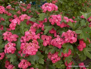 Crataegus-laevigata-flowers-and-leaves-11